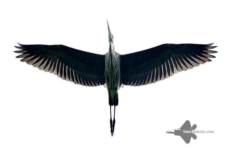 Great Blue Heron_2019-07-27_1