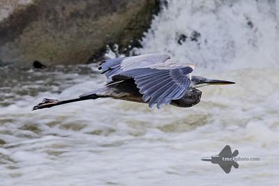 Great Blue Heron_2019-07-28_5