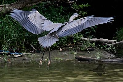 Great Blue Heron_2019-07-28_7