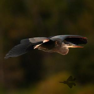 Great Blue Heron_2019-09-29_2