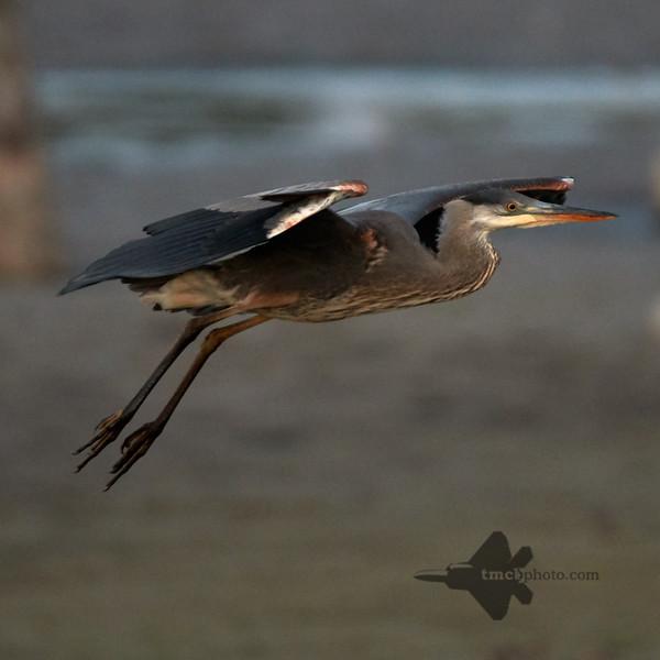 Great Blue Heron_2019-09-29_3