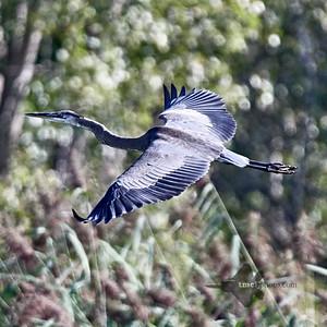 Great Blue Heron_2019-09-08_2