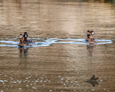 Greater Scaup_2019-10-20_1