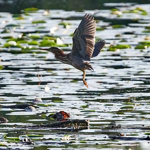 Green Heron_2019-09-08_5