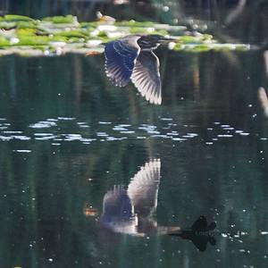 Green Heron_2019-09-08_8