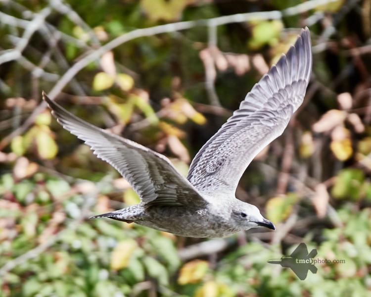 Herring Gull_2019-10-12