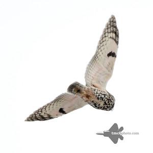 Long-eared Owl_2019-12-07_2