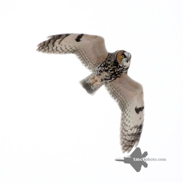 Long-eared Owl_2019-12-07_4