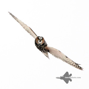 Long-eared Owl_2019-12-07_3