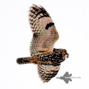 Long-eared Owl_2019-12-07_1