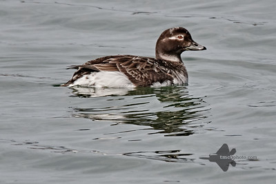 Long-Tailed Duck_2019-05-18_2