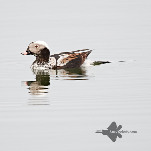 Long-Tailed Duck_2019-05-11_1