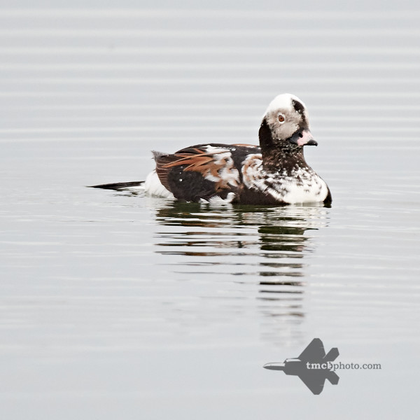 Long-Tailed Duck_2019-05-11_3