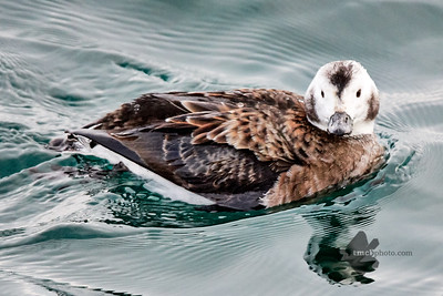 Long-Tailed Duck_2019-01-05_1