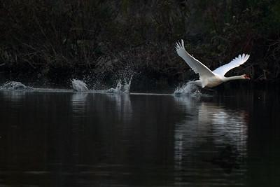 Mute Swan_2019-09-21_1