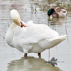 Mute Swan_2019-06-01_1