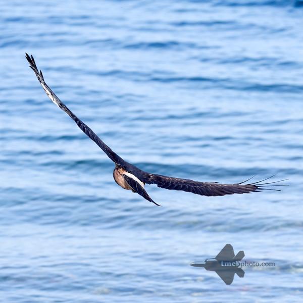 Northern Harrier_2019-09-08_4