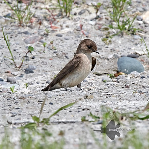 Northern Rough-Winged Swallow_2019-06-01_3