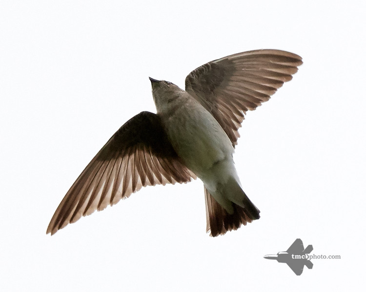 Northern Rough-Winged Swallow_2019-06-01_4