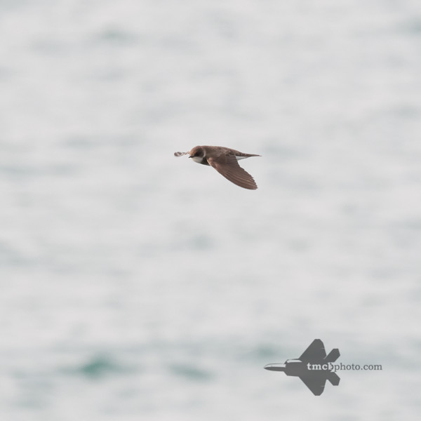 Northern Rough-Winged Swallow_2019-06-01_1