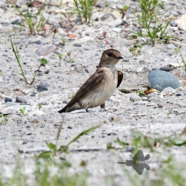 Northern Rough-Winged Swallow_2019-06-01_2