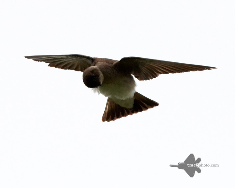 Northern Rough-Winged Swallow_2019-06-01_5
