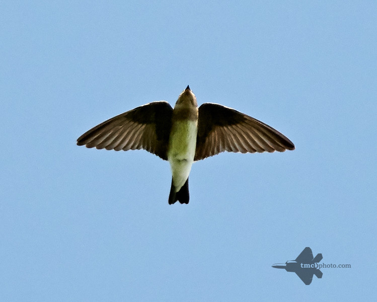 Northern Rough-Winged Swallow_2019-07-21_1
