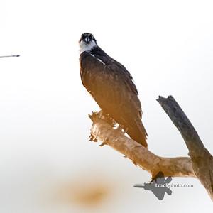 Osprey_2019-09-08_1