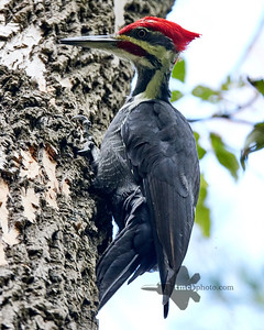 Pileated Woodpecker_2019-10-12_5
