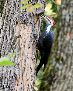 Pileated Woodpecker_2019-10-12_1