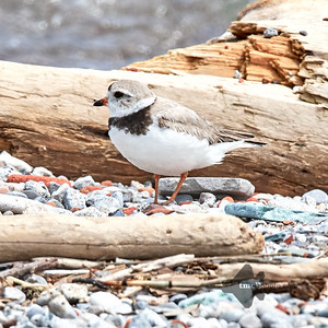Piping Plover_2019-06-02_9
