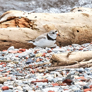 Piping Plover_2019-06-02_4