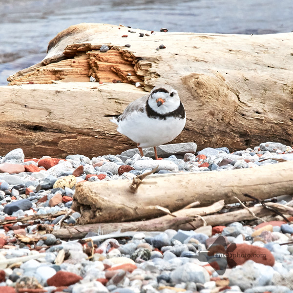 Piping Plover_2019-06-02_5