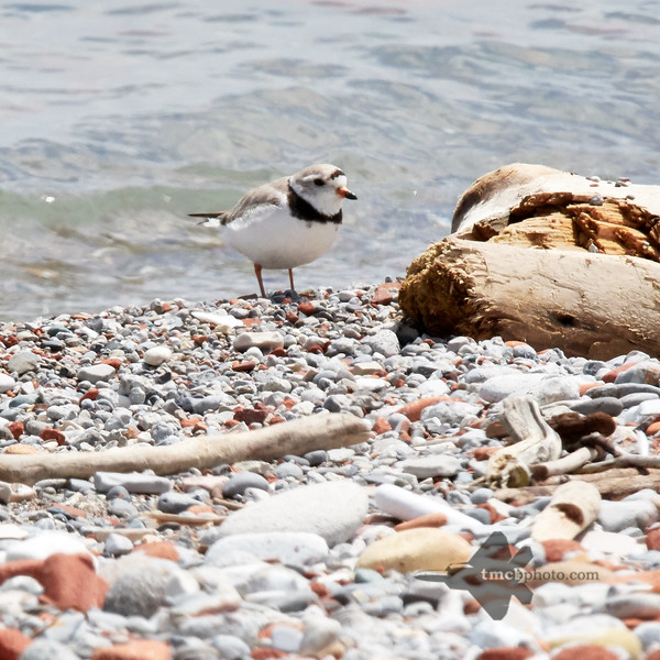 Piping Plover_2019-06-02_1