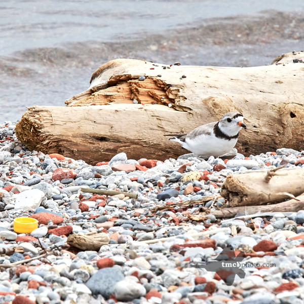 Piping Plover_2019-06-02_3