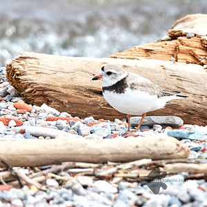 Piping Plover_2019-06-02_7