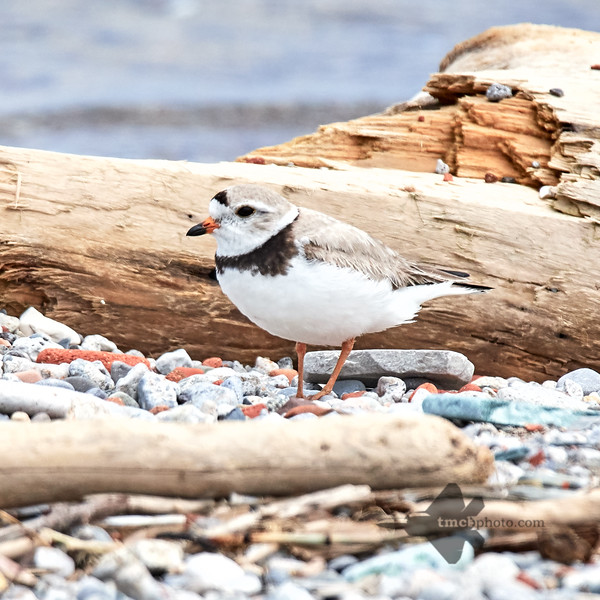 Piping Plover_2019-06-02_8