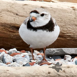 Piping Plover_2019-06-02_6