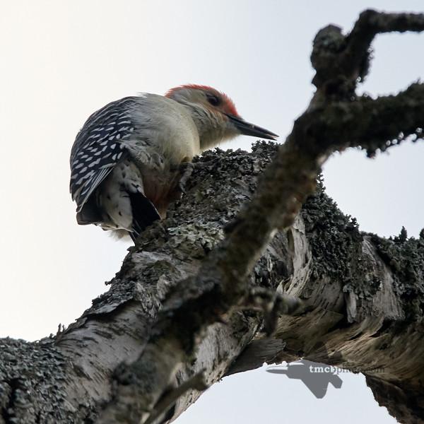 Red-Bellied Woodpecker_2019-10-12_4