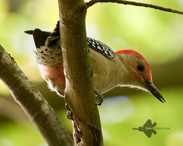 Red-Bellied Woodpecker_2019-10-12_2