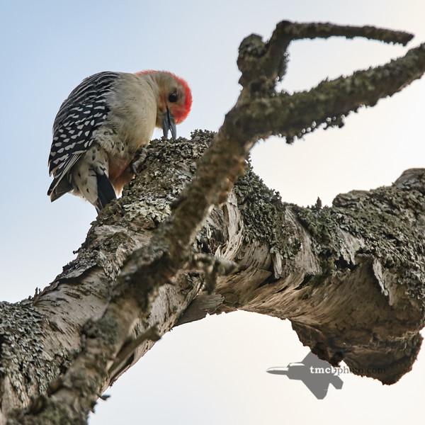 Red-Bellied Woodpecker_2019-10-12_3