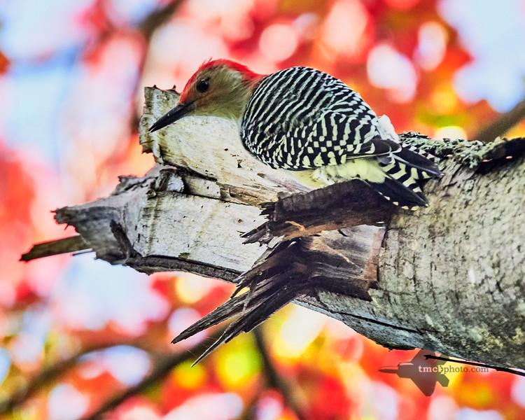Red-Bellied Woodpecker_2019-10-12_1