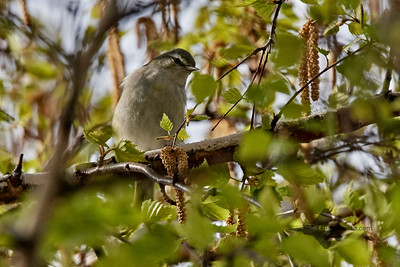 Red-Eyed Vireo_2019-05-18_1