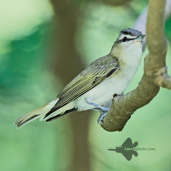 Red-Eyed Vireo_2019-07-27_1