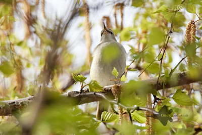 Red-Eyed Vireo_2019-05-18_2