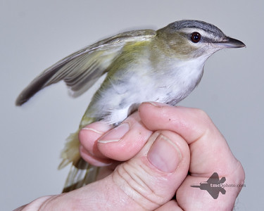 Red-Eyed Vireo_2019-09-29_2