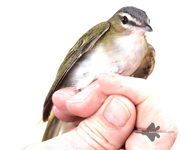 Red-Eyed Vireo_2019-09-29_1