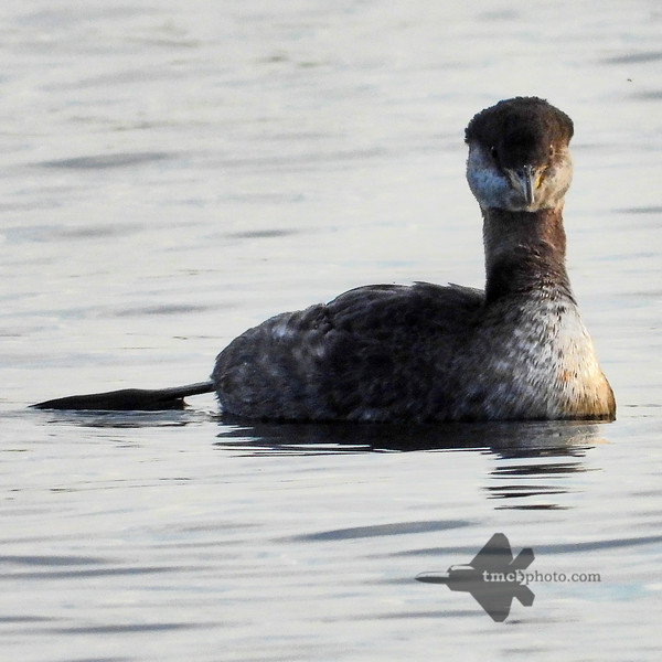 Red-Necked Grebe_2019-10-19_2
