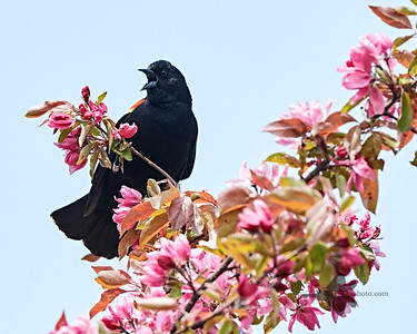 Red-Winged Blackbird_2019-06-01_5