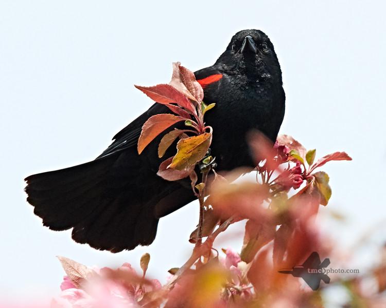 Red-Winged Blackbird_2019-06-01_6